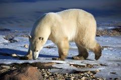 极性熊的看起来 免版税库存图片