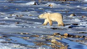极性熊的看起来 库存照片