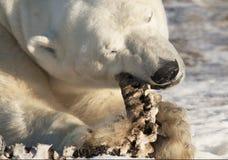 极性熊的看起来 免版税库存照片