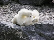 极性熊的头疼 库存图片