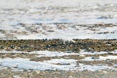 极性狐狸在栖所,冬天风景,斯瓦尔巴特群岛,挪威 在雪的美丽的动物 连续狐狸 野生生物从自然的行动场面 免版税库存图片