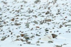 极性狐狸在栖所,冬天风景,斯瓦尔巴特群岛,挪威 在雪的美丽的白色动物 野生生物从自然的行动场面, 免版税库存图片