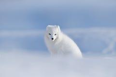 极性狐狸在栖所,冬天风景,斯瓦尔巴特群岛,挪威 在雪的美丽的动物 坐的白狐 野生生物行动场面从 免版税库存图片