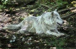极性狼休息在阴影 库存图片