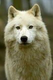 极性狼 免版税库存图片
