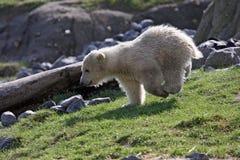 极性的小熊 免版税库存照片