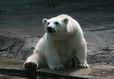 极性的小熊 免版税库存图片