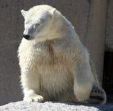 极性的熊弄湿了 免版税库存图片