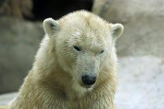 极性的熊弄湿了 免版税图库摄影
