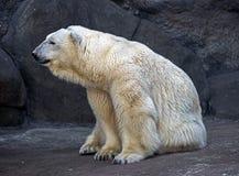 16极性的熊 库存图片