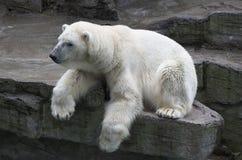 极性的熊 图库摄影
