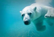 极性的熊 免版税库存图片