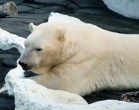 极性的熊 库存照片