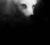 极性的狐狸 库存照片