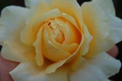 极端关闭与白色技巧瓣的黄色花 免版税库存图片