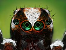 土耳其跳跃的蜘蛛特写镜头 免版税库存图片
