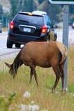 极端吃草接近一条繁忙的高速公路的一只母麋 免版税库存照片