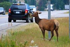 极端吃草接近一条繁忙的高速公路的一只母麋 库存图片