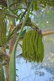 极端异常的flowerring的植物 免版税库存图片