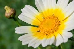 极端接近一朵白黄色雏菊花的/宏指令在春天期间的 免版税库存照片