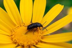 极端接近在一朵黄色雏菊花的一只甲虫在春天期间 免版税图库摄影