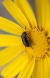 极端接近在一朵黄色雏菊花的一只甲虫在春天期间 库存照片