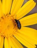 极端接近在一朵黄色雏菊花的一只甲虫在春天期间 免版税库存照片