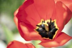 极端接近宏观美丽的红色郁金香的花的关闭-  免版税库存照片