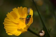 极端接近授粉一朵黄色雏菊的一只鲜绿色土蜂金龟子甲虫在春天期间 免版税库存图片