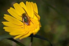 极端接近授粉一朵黄色雏菊的一只鲜绿色土蜂金龟子甲虫在春天期间 图库摄影