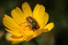 极端接近授粉一朵黄色雏菊的一只鲜绿色土蜂金龟子甲虫在春天期间 库存照片