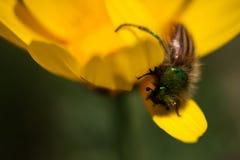 极端接近授粉一朵黄色雏菊的一只鲜绿色土蜂金龟子甲虫在春天期间 库存图片
