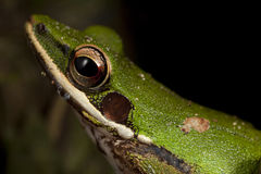 极端接近绿色treefrog 库存照片