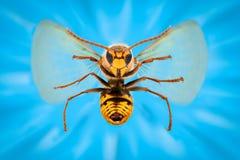 极端放大-在飞行中atacking巨型的黄蜂 免版税库存图片