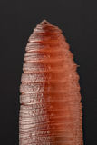 极端放大-地球蠕虫 库存照片