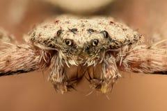 极端放大-平的蜘蛛,正面图 免版税库存图片