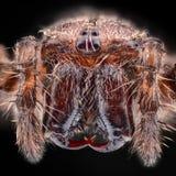 极端放大-欧洲花园蜘蛛, Araneus diadematus 免版税库存照片