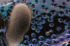 极端放大-蓝色金属臭虫眼睛和皮肤, Meloe proscarabaeus 库存照片