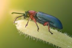 极端放大-蓝色金属臭虫,芫菁科 免版税库存照片