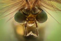 极端放大-蚊子头,摇蚊属,正面图 图库摄影