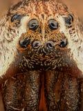 极端放大-蜘蛛注视,正面图 免版税库存图片