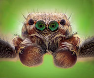 极端放大-跳跃的蜘蛛画象,正面图 图库摄影