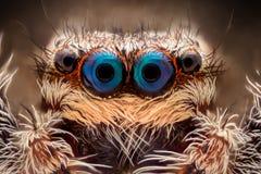 极端放大-跳跃的蜘蛛画象 免版税库存图片