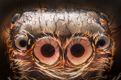 极端放大-跳跃的蜘蛛画象 库存图片