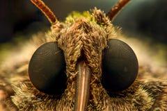 极端放大-飞蛾坚硬的正面图 库存图片