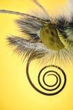 极端放大- Anthocharis碎米荠属植物蝴蝶 库存图片