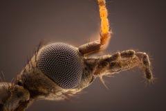 极端放大-年轻Tipula paludosa大蚊头 库存图片