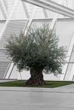 极端老橄榄树由现代建筑学的bw围拢了 库存照片