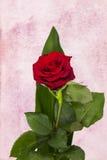 构成唯一红色玫瑰 免版税库存图片