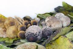 构成水平的蘑菇 免版税库存照片